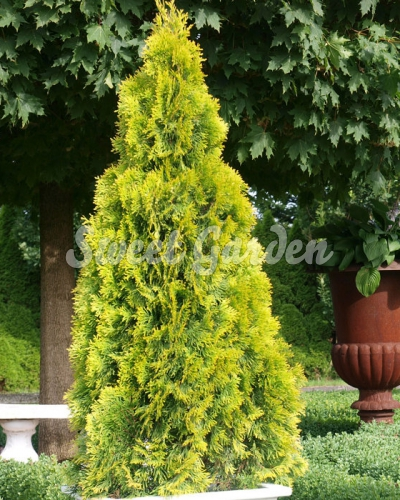 thuja occidentalis golden brabant sweet garden. Black Bedroom Furniture Sets. Home Design Ideas