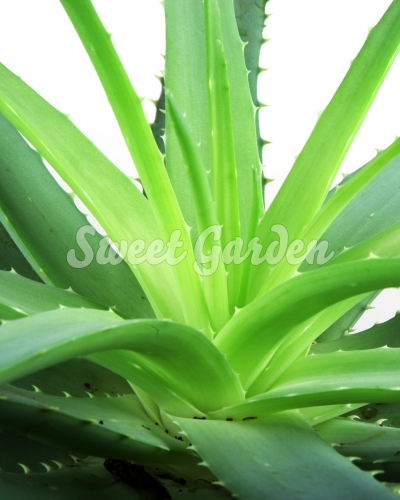 aloe vera sweet garden. Black Bedroom Furniture Sets. Home Design Ideas